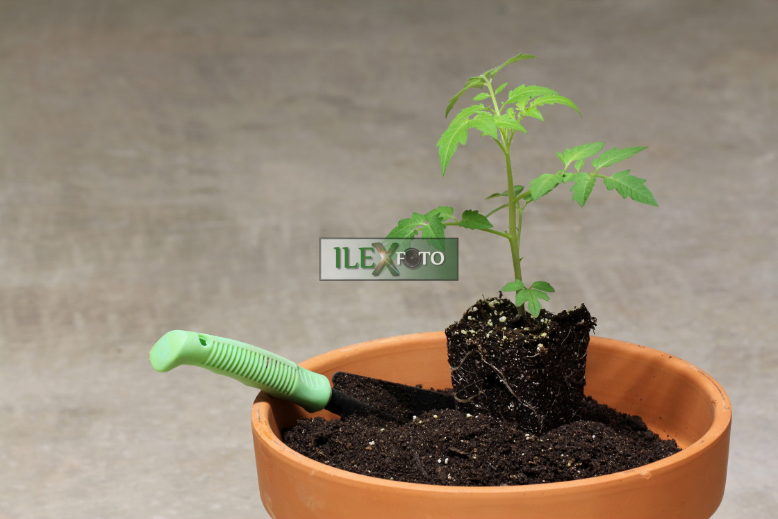 """""""tomato being planted"""" stock image"""