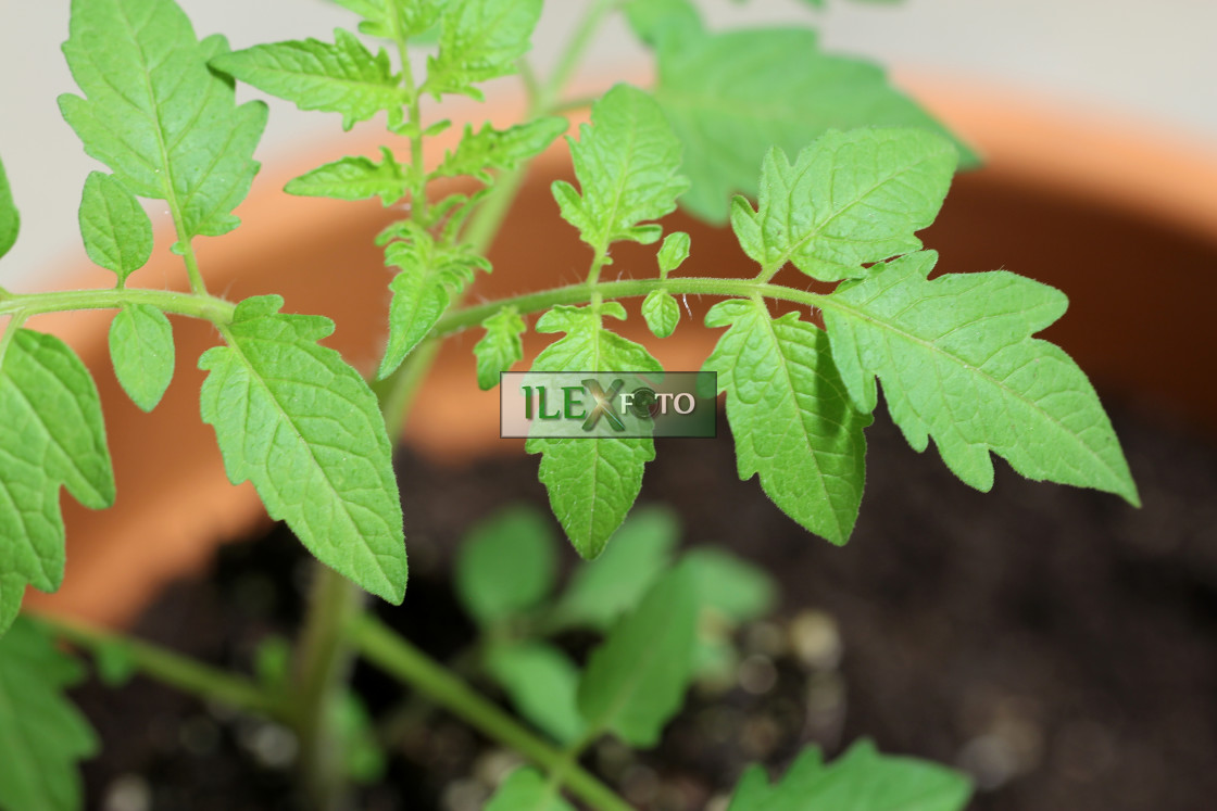 """tomato leaves in detail"" stock image"