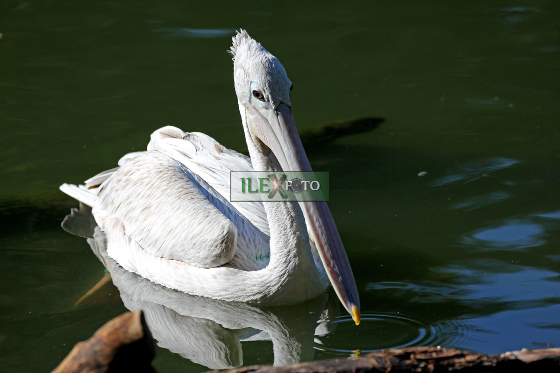 """Pelican"" stock image"