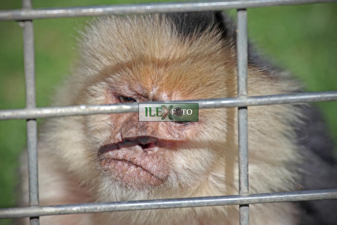 """""""Monkey behind bars"""" stock image"""