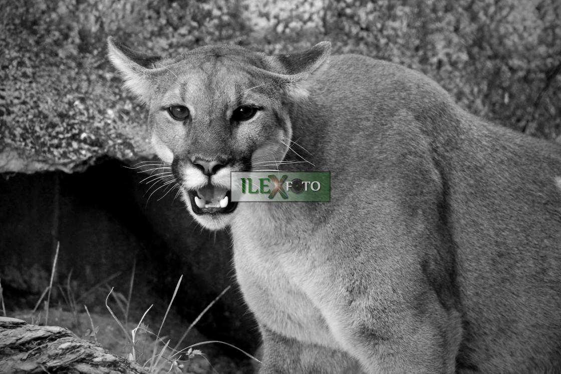 """""""Mountain lion"""" stock image"""