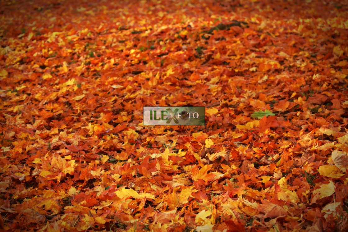 """Autumn carpet of leaves"" stock image"