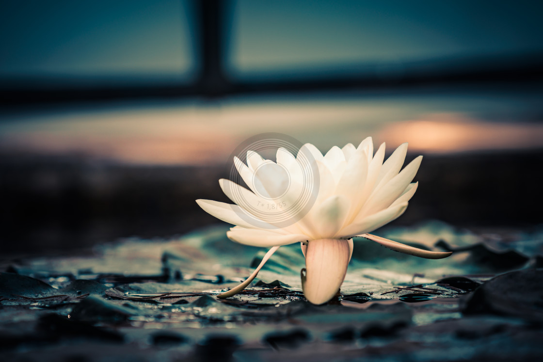 """Urban white water lily"" stock image"
