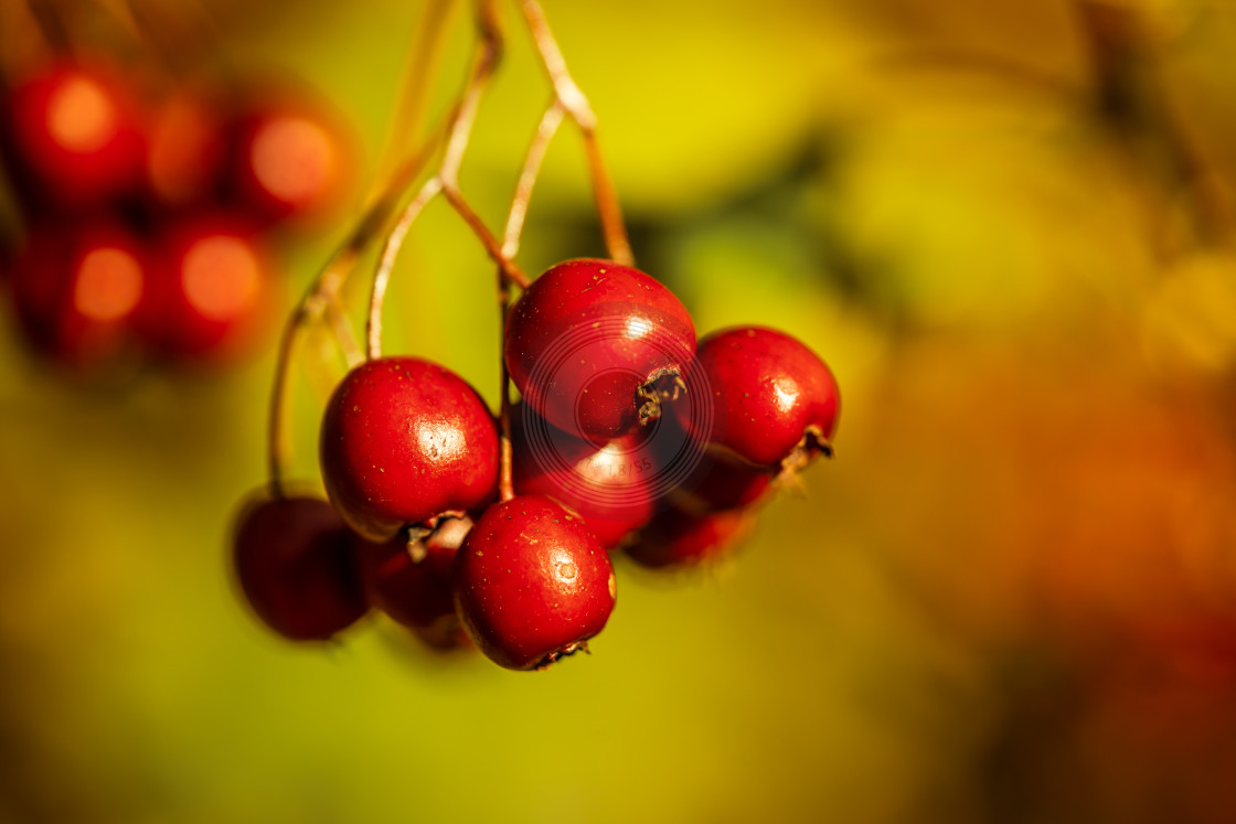 """Red berries in the sun"" stock image"
