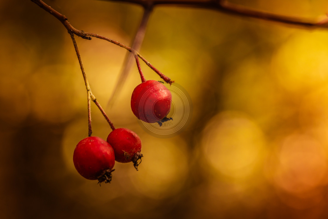 """Red berries in the wild"" stock image"