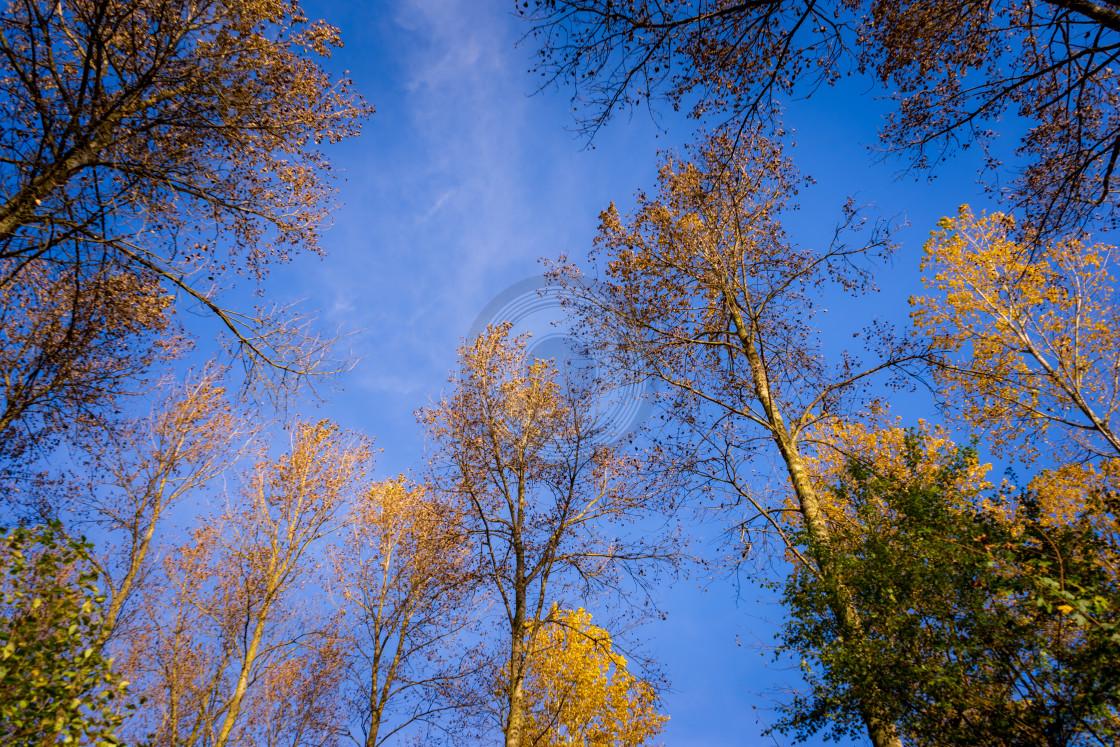 """Sky-high golden trees"" stock image"