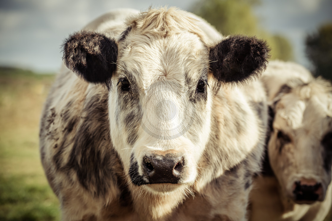 """Grey and white dairy cow"" stock image"