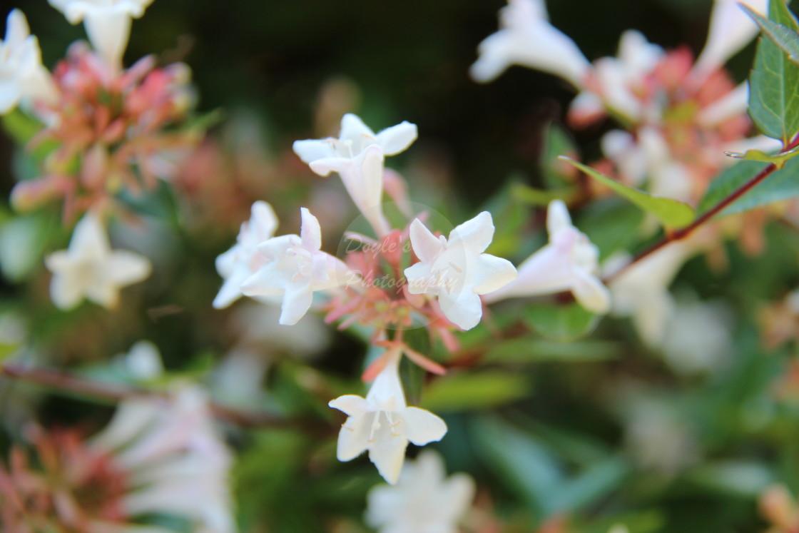 """""""Star Jasmin Flowers"""" stock image"""