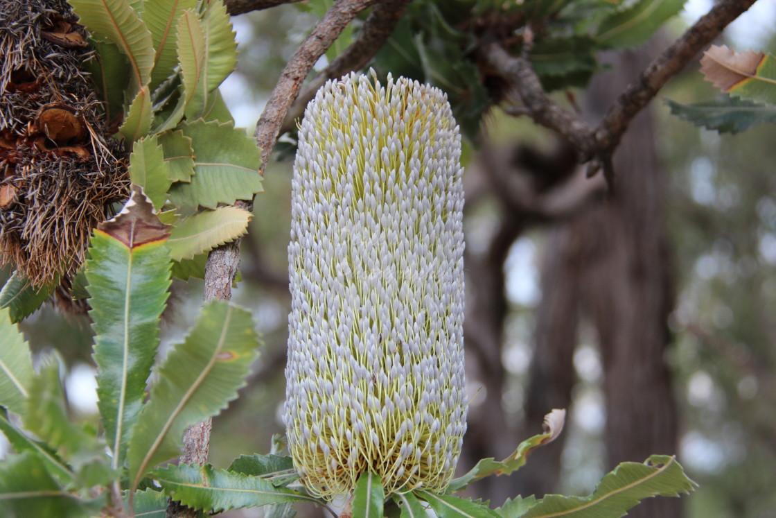 """""""White Banksia"""" stock image"""