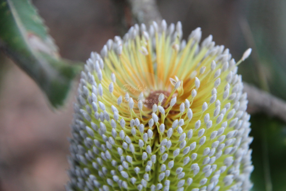 """""""Top of A White Banksia"""" stock image"""