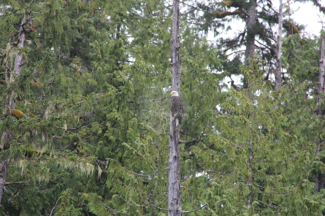 """Bald Eagle Watching"" stock image"