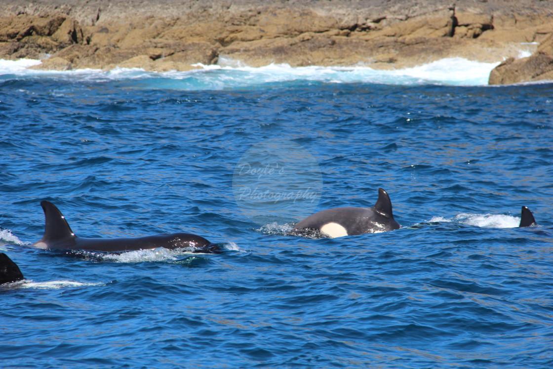 """""""Orcas Providing an Escort"""" stock image"""