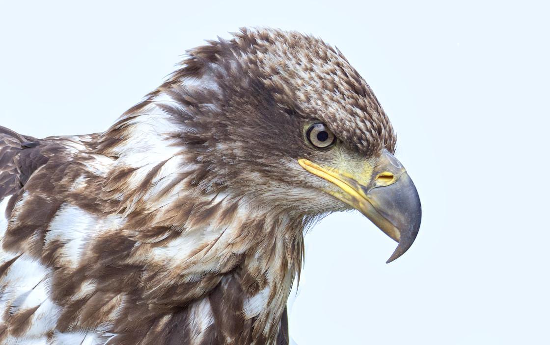 """American Bald Eagle"" stock image"