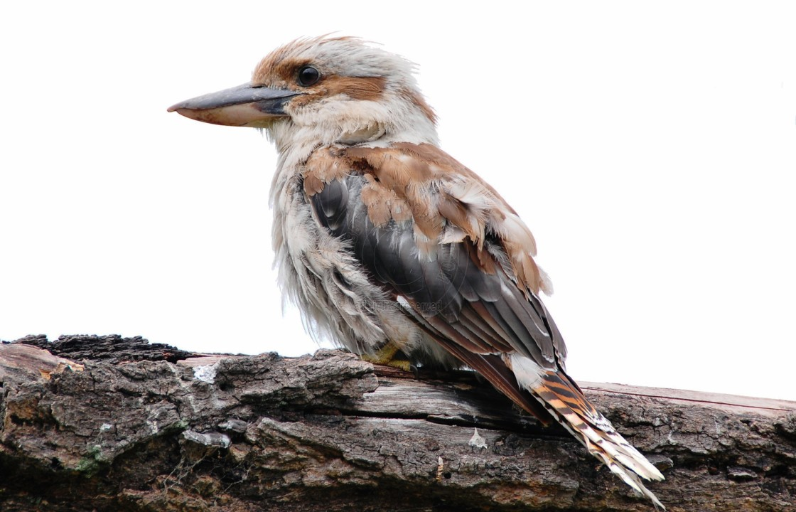 """Australian Kookaburra"" stock image"