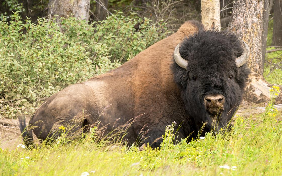"""Wood Bison"" stock image"