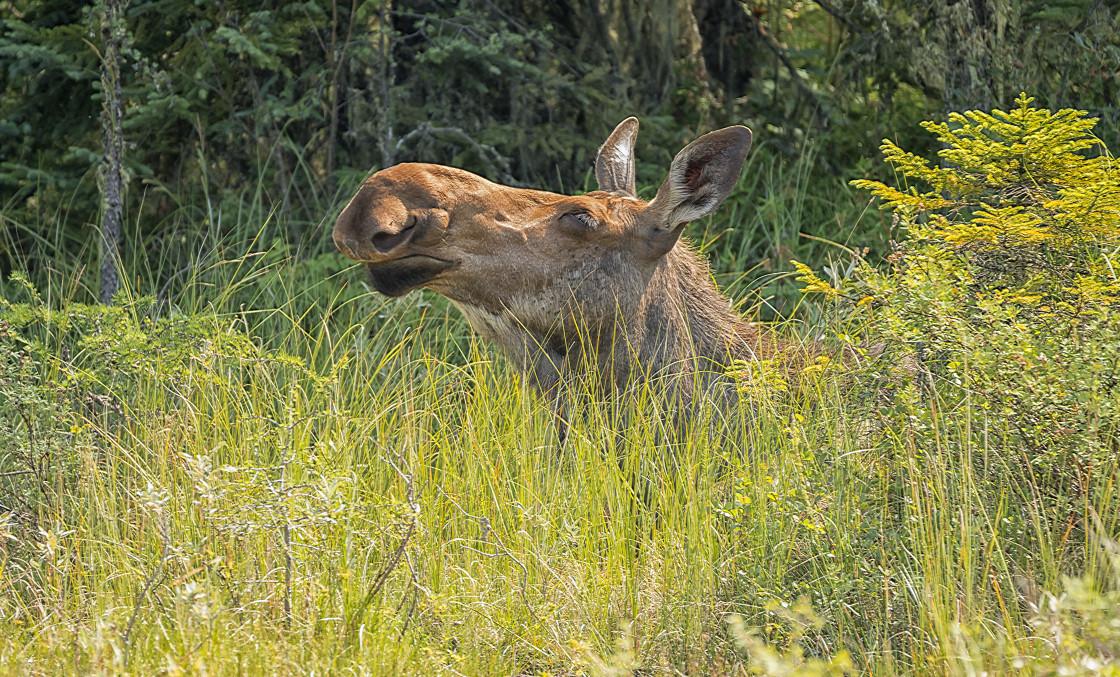 """Cow Moose"" stock image"
