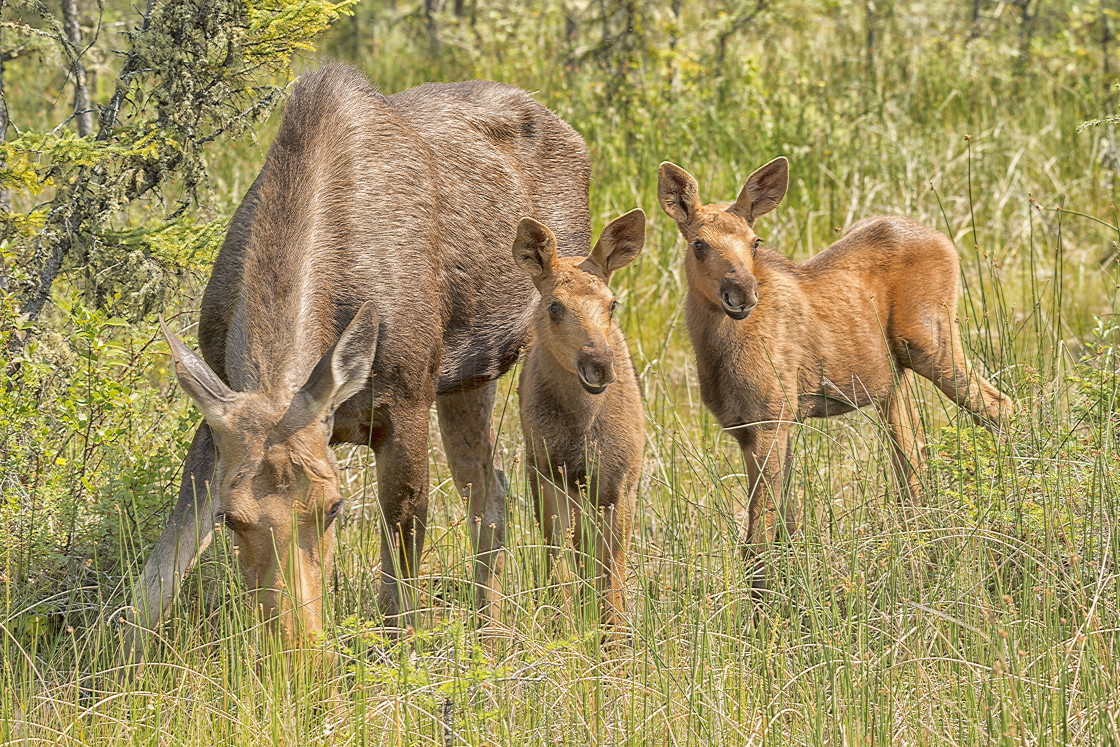"""Moose Family"" stock image"