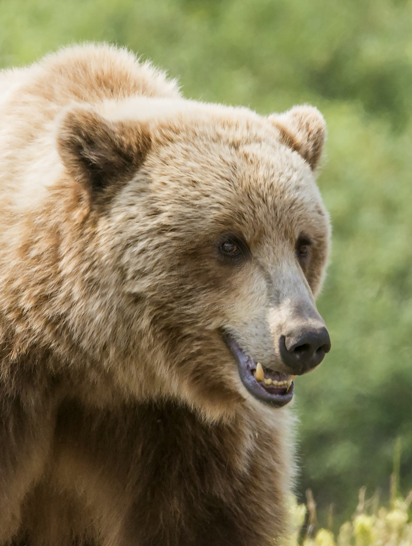 """Grizzly Bear"" stock image"