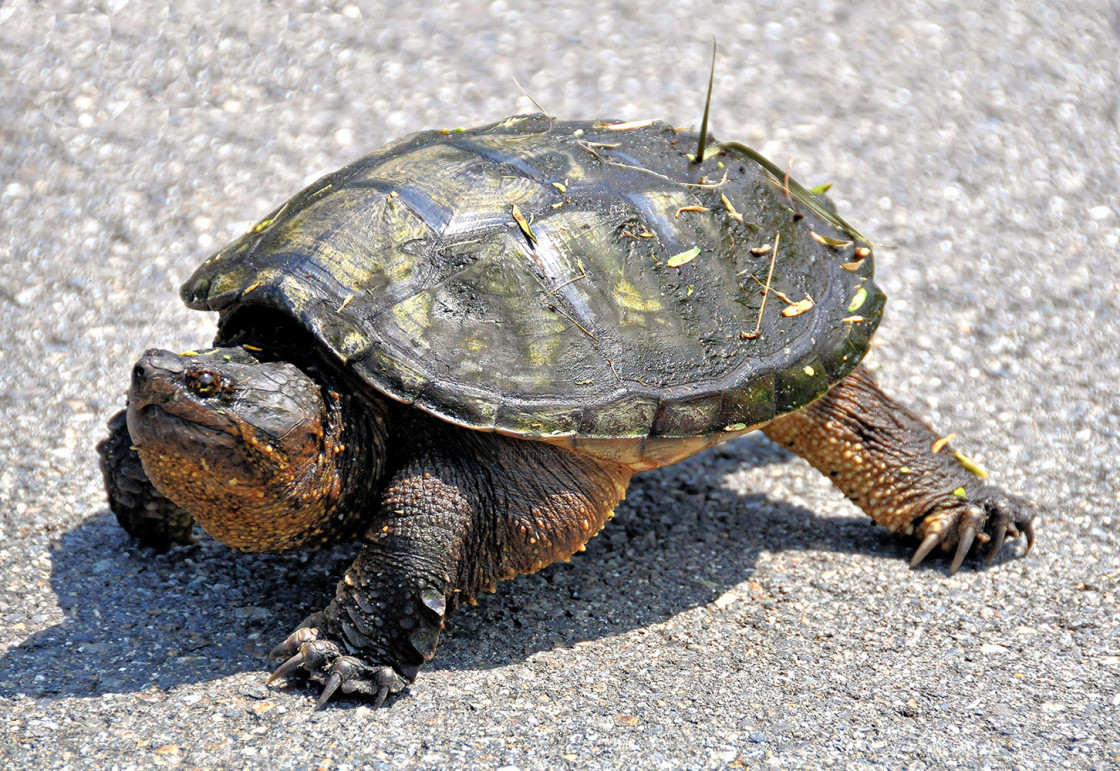 """Snapping Turtle"" stock image"