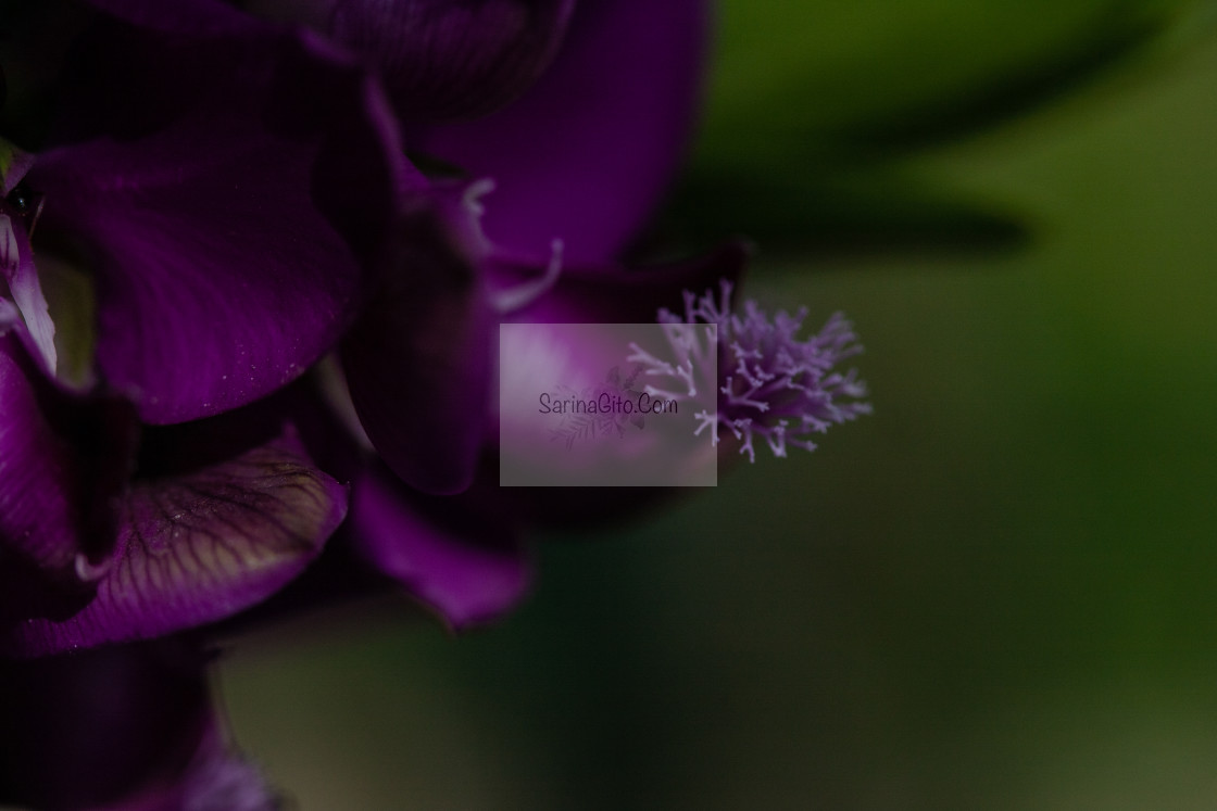 """purple flower up close - macro"" stock image"