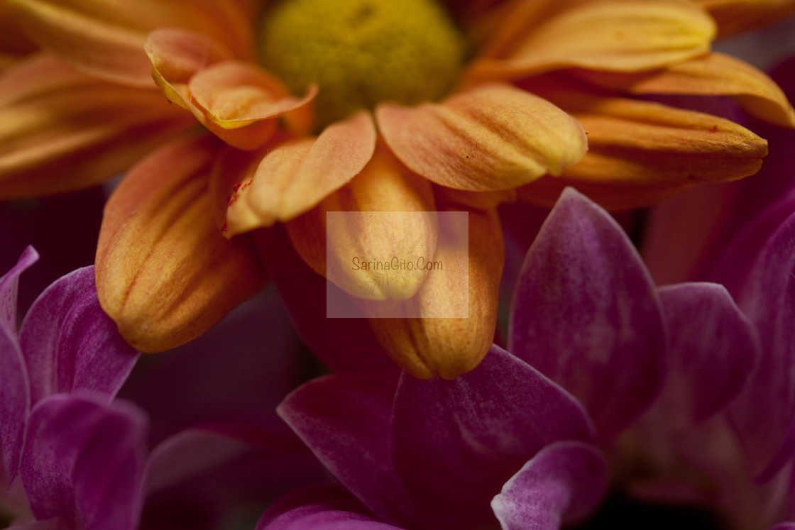 """Orange & Pink Flowers"" stock image"