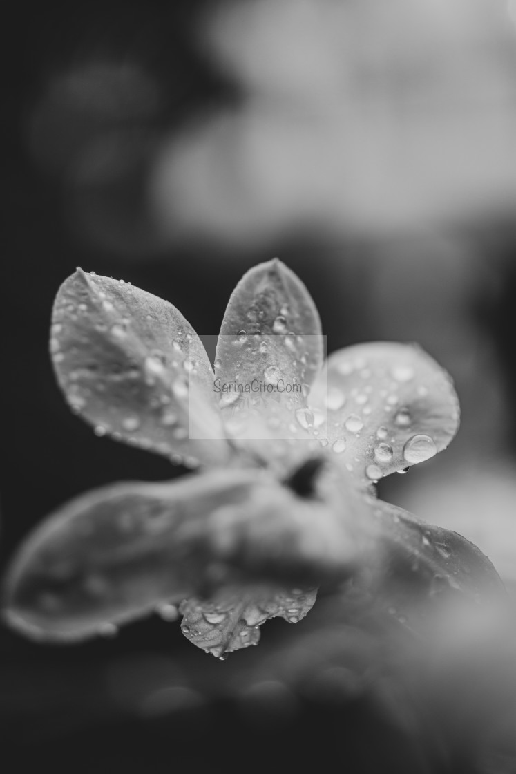 """Flower and rain"" stock image"
