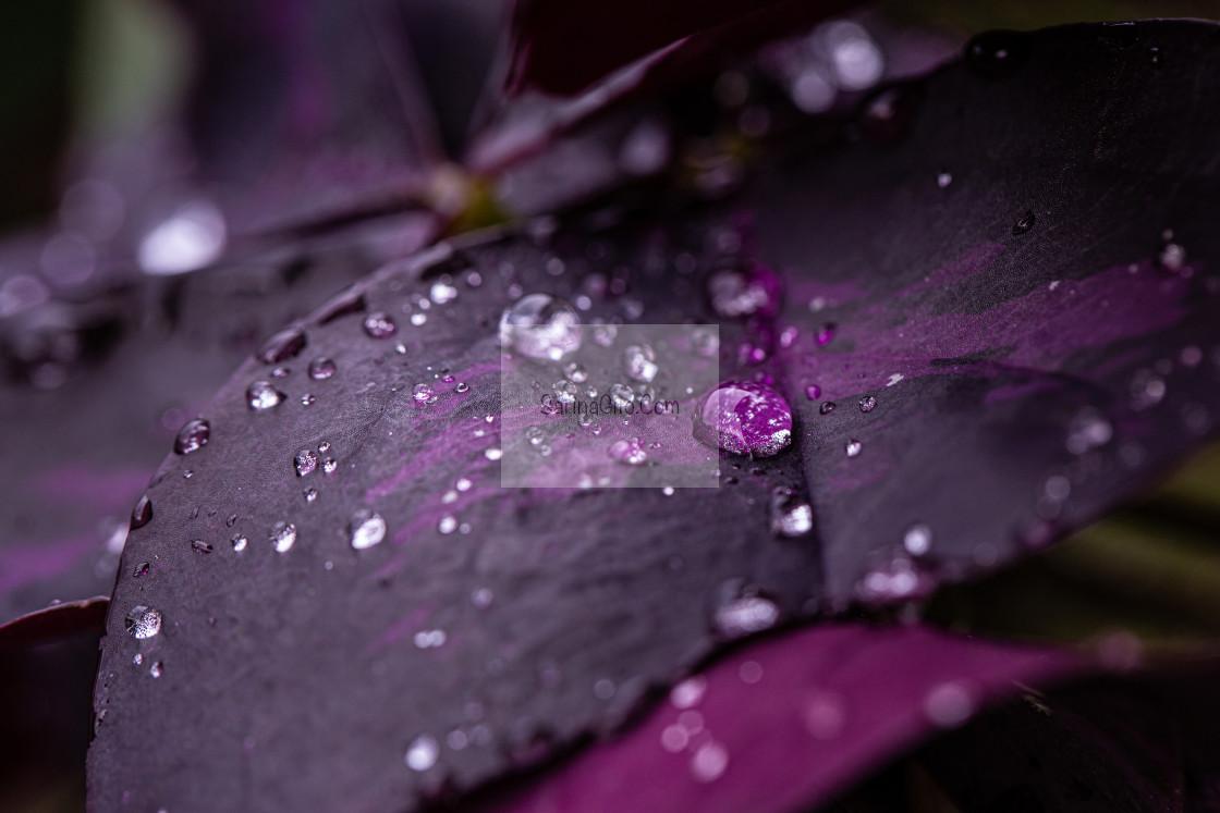 """Purple Clover"" stock image"