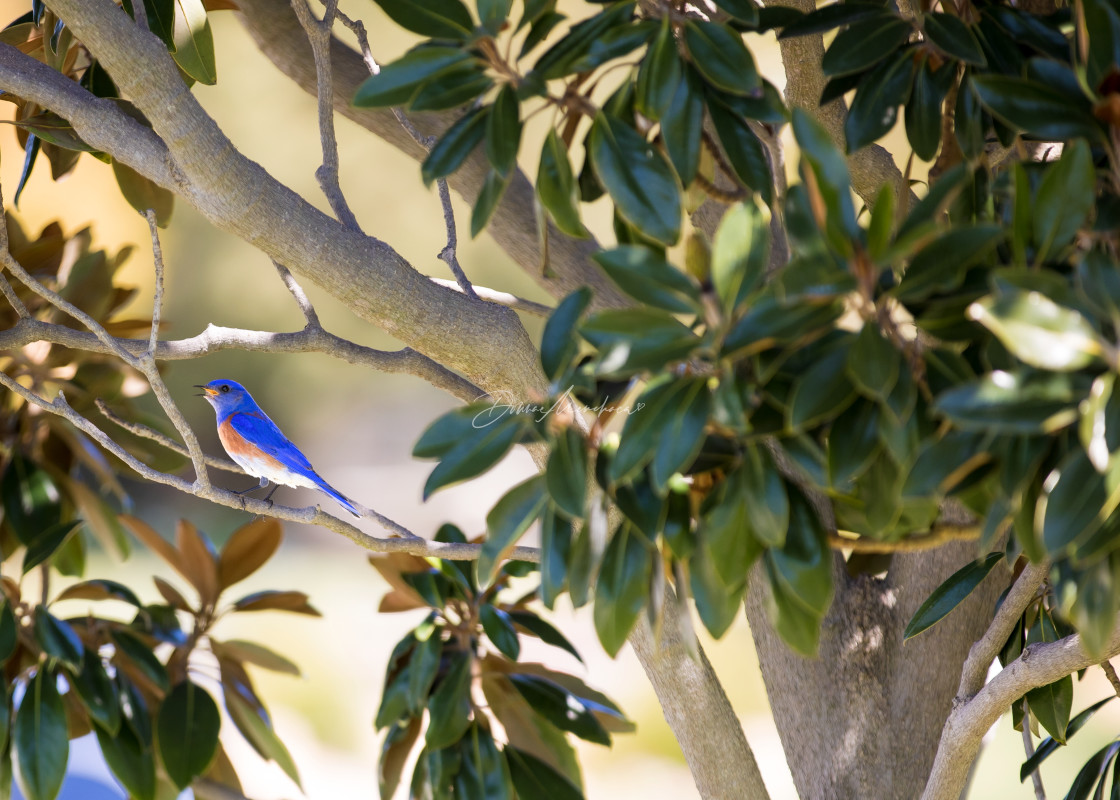 """""""blue bird in a tree singing"""" stock image"""