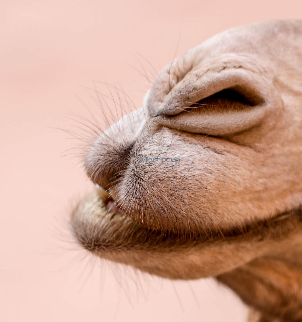 """""""Close up image of the nose of a wild camel."""" stock image"""