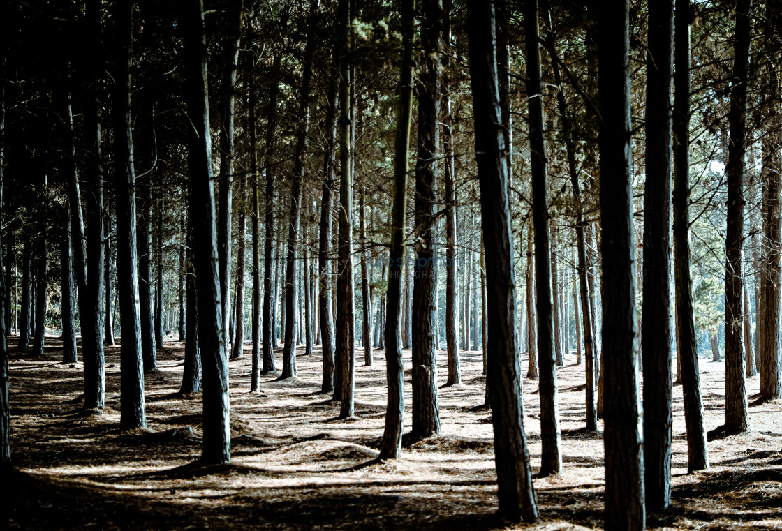 """""""Forest with Shadows"""" stock image"""