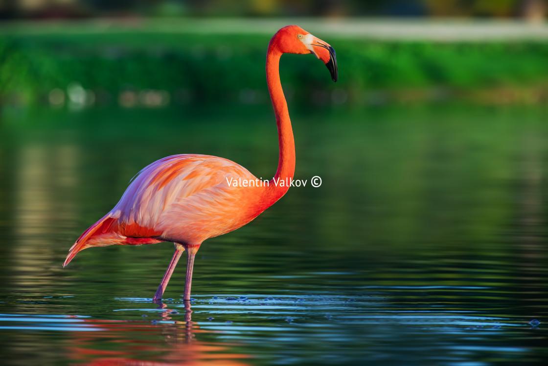 """Flamingo in lake, beautful sunset shot"" stock image"