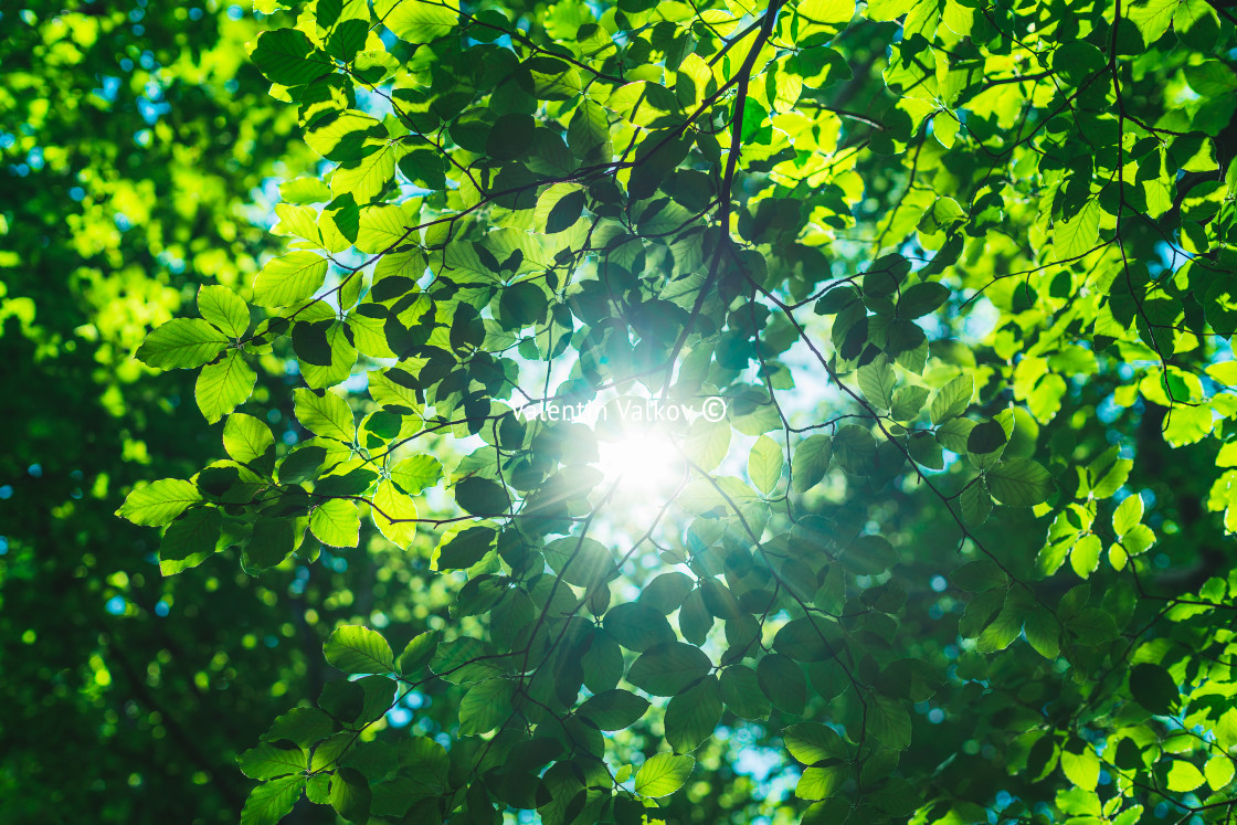 """Shining sun through a fresh green leaves of the maple tree in s"" stock image"