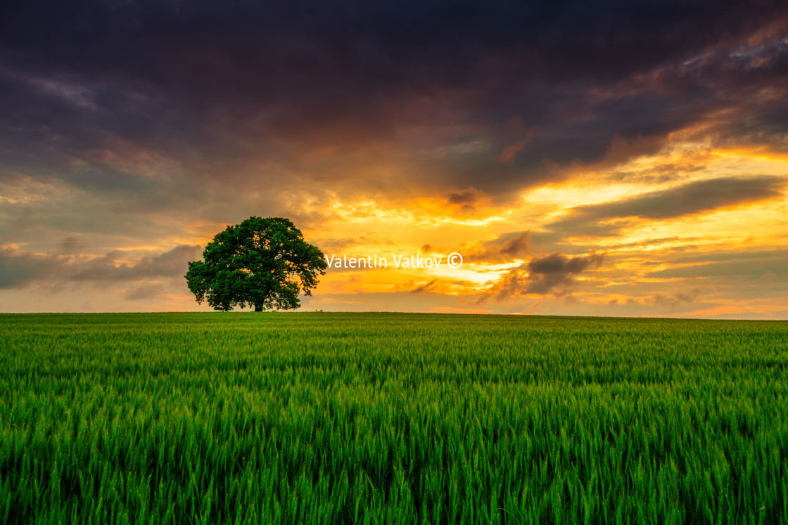"""""""Tree in the field and dramatic clouds in the sky"""" stock image"""