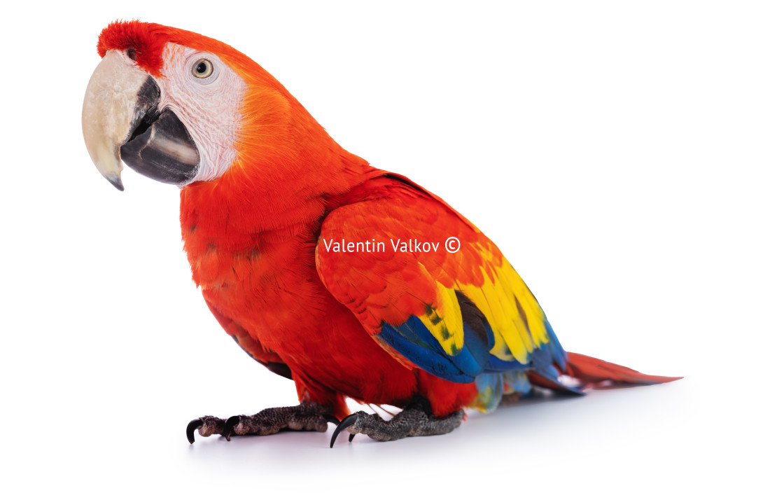 """Macaw Parrot isolated on white"" stock image"