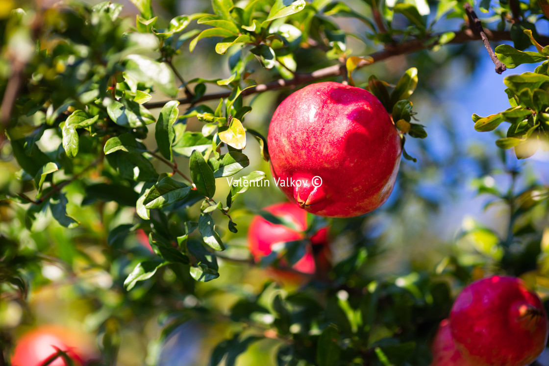 """Ripe pomegranate fruit on tree branch against Blue sky"" stock image"