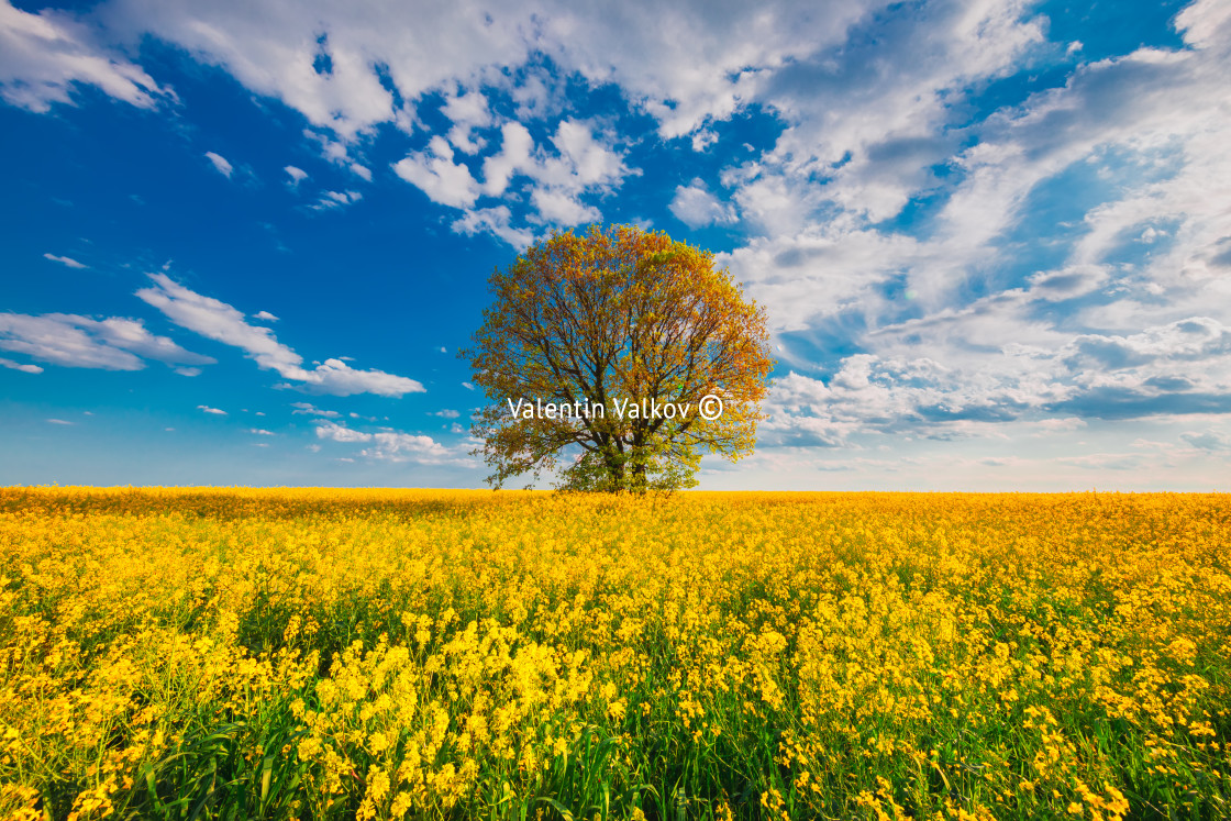 """""""Rapeseed field with blossom trees and sky with clouds"""" stock image"""
