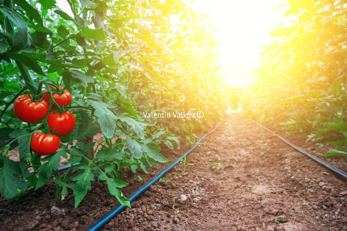 """""""Tomatoes in a Greenhouse. Horticulture. Vegetables"""" stock image"""