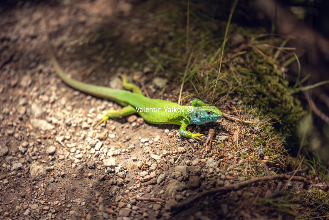"""Green lizard on a ground outdoor, closeup shot"" stock image"