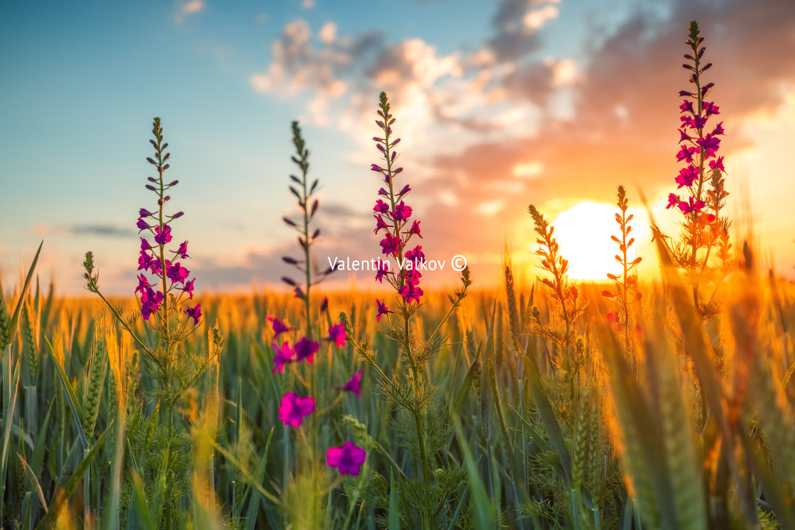 """""""Sunset over fresh wheat field and wild flowers"""" stock image"""