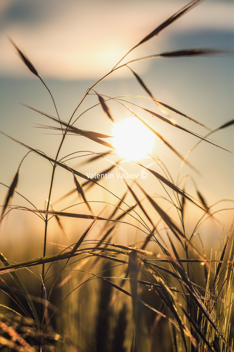 """""""Blurry sunset with grass"""" stock image"""