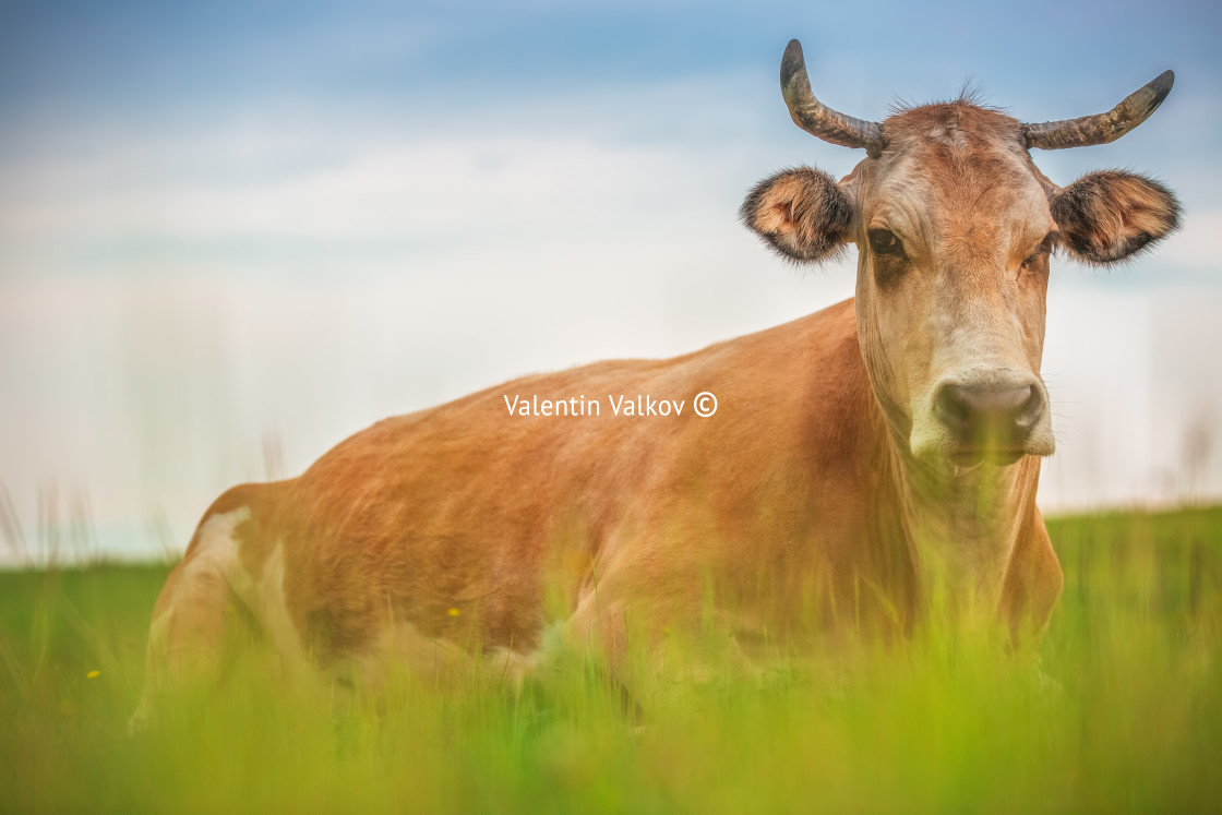"""""""Cow in a meadow"""" stock image"""