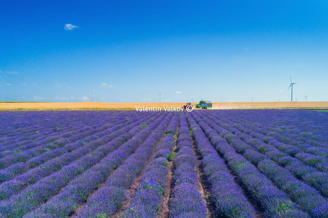 """""""Aerial view of Tractor harvesting field of lavender"""" stock image"""