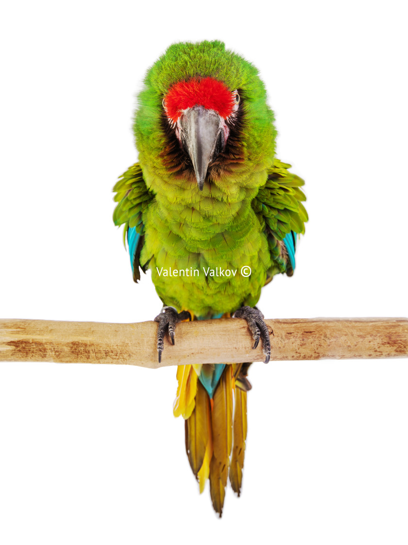 """""""Macaw Parrot isolated on white"""" stock image"""