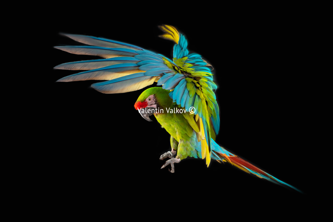 """""""Flying Macaw Parrot isolated on black"""" stock image"""