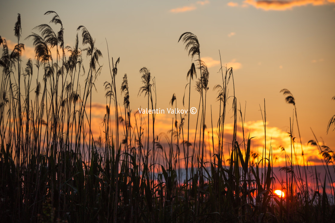 """""""Sunset over the lake and fern plants. Sun and wild plant around"""" stock image"""