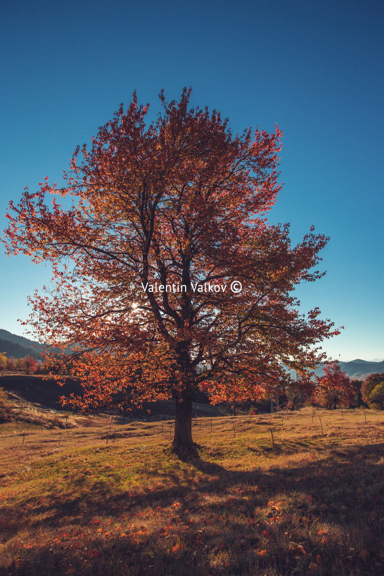 """Autumn tree, morning shot"" stock image"