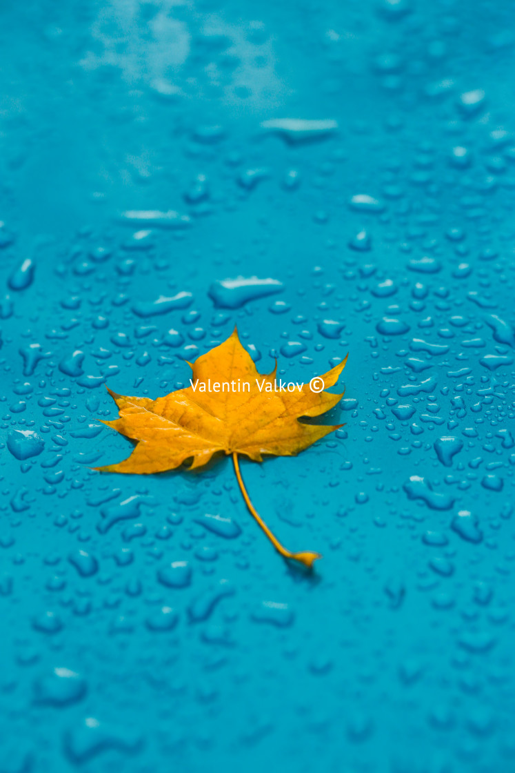 """""""Yellow leaf and drops on the blue waterproof material"""" stock image"""