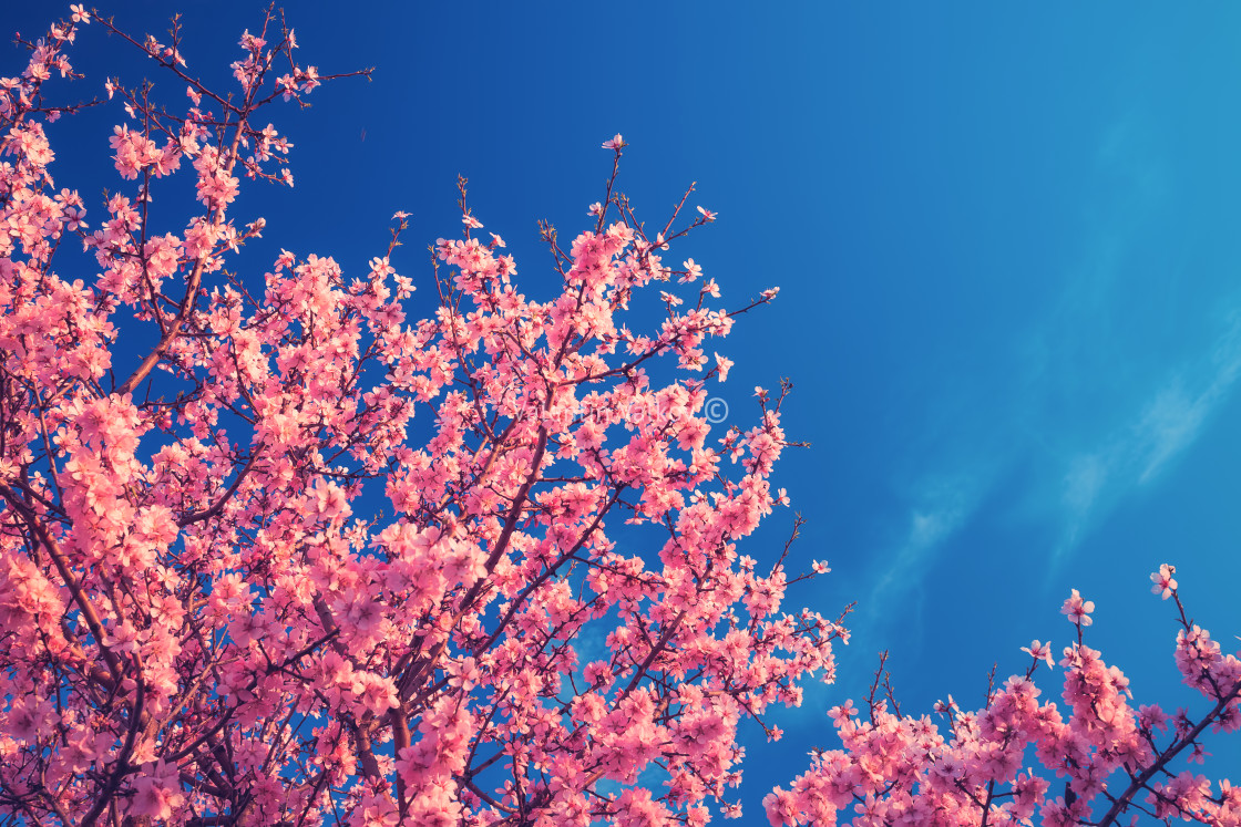 """Cherry Blossom trees in spring and clear blue sky"" stock image"