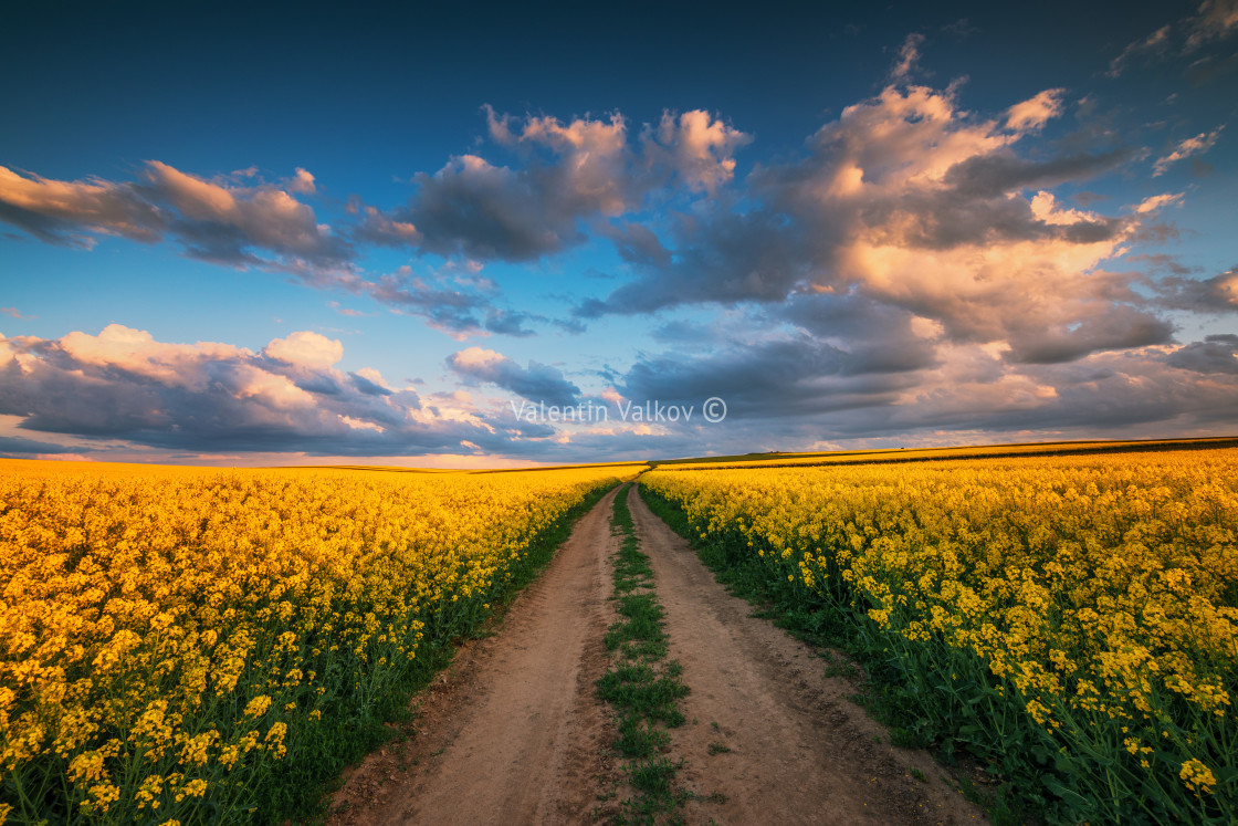 """Sunset over the rapeseed field, beautiful spring day."" stock image"