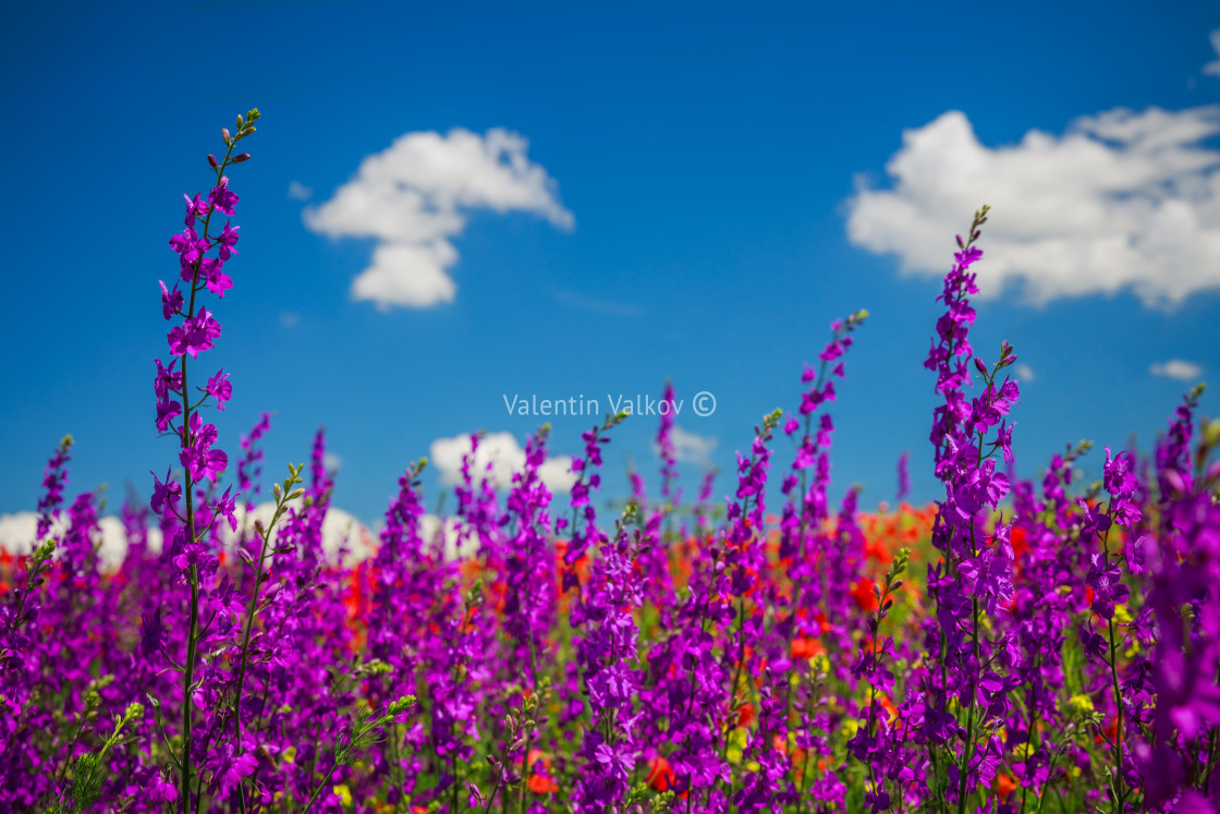 """Spring landscape with red, pink and purple wildflowers on a mead"" stock image"